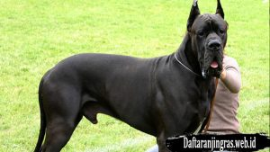 Anjing Great Dane