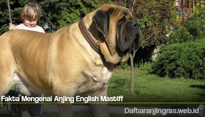 Fakta Mengenai Anjing English Mastiff