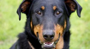 beauceron-long