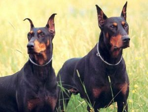 doberman-pinschers